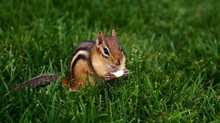 Animals nuts backyard chipmunks c4 wallpaper