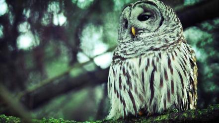Owls birds wallpaper