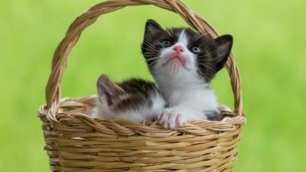 Baskets cats green background kittens pets Wallpaper