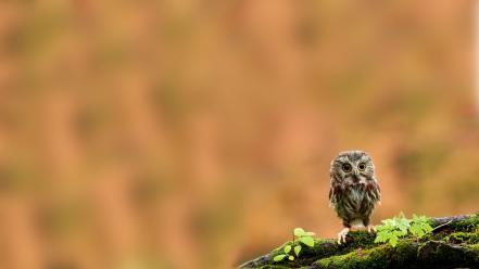 Birds depth of field funny owls wallpaper