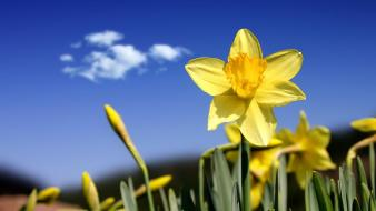 Beautiful Daffodils Wallpaper