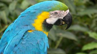 Blue Macaw Parrot wallpaper