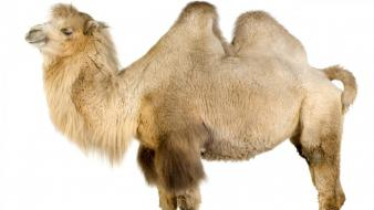Camel On White wallpaper