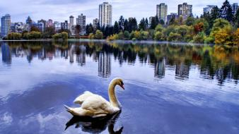 City Lake Swan wallpaper