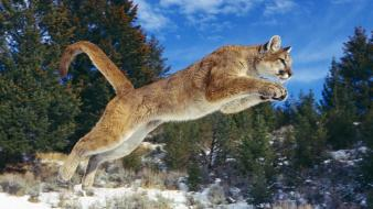 Cougar Jump wallpaper