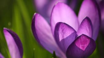 Crocus Spring wallpaper