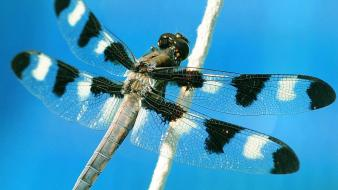 Dragonfly With Spots Wallpaper