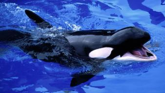 Feed Mel Killer Whale wallpaper