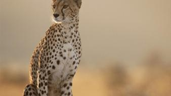 Female Cheetah wallpaper