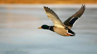 Flying Duck wallpaper