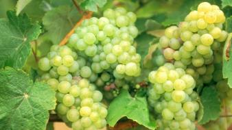 Folle Grapes Wallpaper