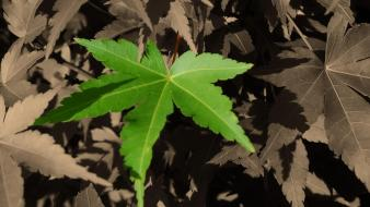 Green Single Leaf wallpaper