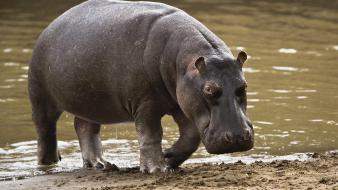 Hippo In Africa wallpaper