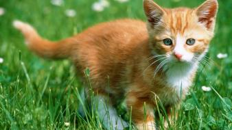 Kitten In The Grass wallpaper
