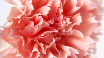 Macro Carnation wallpaper