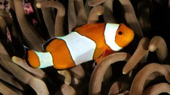 Nice Percula Clownfish wallpaper