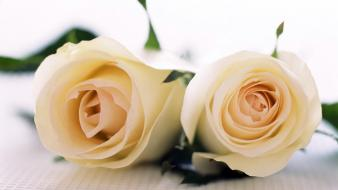 Pair Of Roses wallpaper
