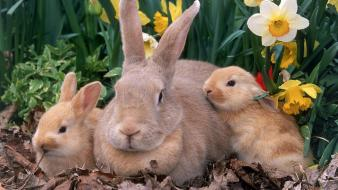 Palomino Rabbits wallpaper