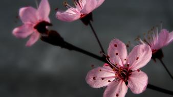 Plum Blossoming wallpaper