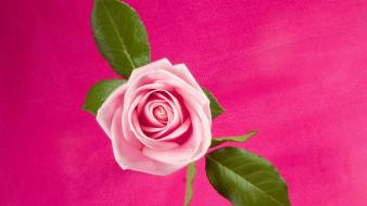 Rose In Deep Pink wallpaper