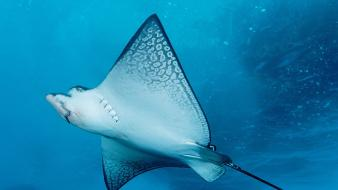 Spotted eagle ray Wallpaper
