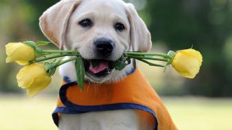 Animals puppies roses labrador retriever biting baby wallpaper
