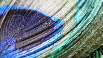 Feathers macro peacocks wallpaper