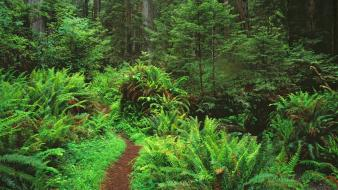 Landscapes forest california trail ferns national park wallpaper