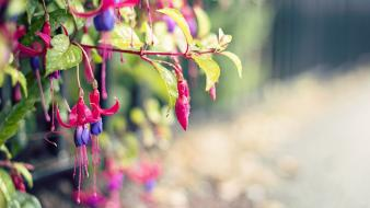 Nature flowers macro fuschia wallpaper
