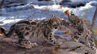 Animals baby playing snow leopards wallpaper