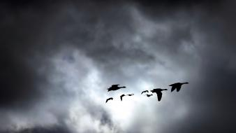 Birds flying geese groups landscapes wallpaper