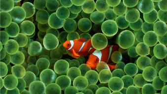 Clownfish coral fish underwater wallpaper