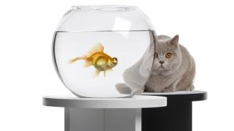 Animals cats fish tank goldfish wallpaper