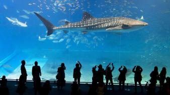 Japan aquarium okinawa whale shark Wallpaper