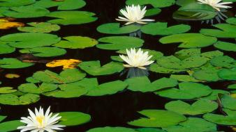 Lily pads nature water lilies wallpaper
