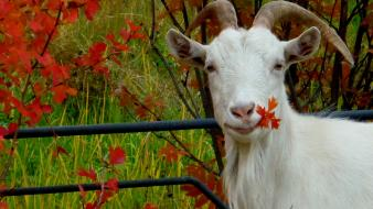 Animals autumn goats leaves wallpaper