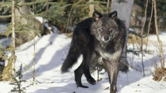 Animals black gray wolves wallpaper