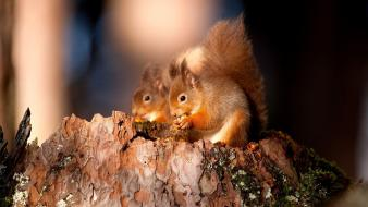 Animals couple love nature squirrels wallpaper