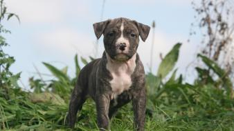 Animals dogs puppies staffordshire terrier wallpaper