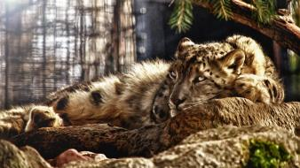 Animals photo manipulation snow leopards Wallpaper