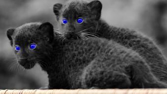 Baby animals blue eyes panthers selective coloring wallpaper