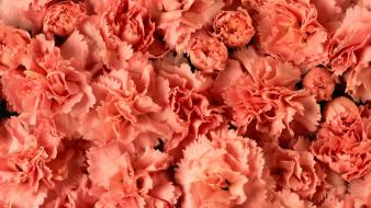 Carnations flowers pink Wallpaper