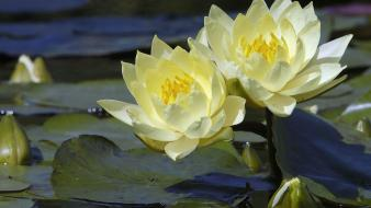 Flowers lily pads water lilies yellow wallpaper