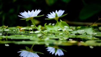 Flowers reflections water lilies white wallpaper