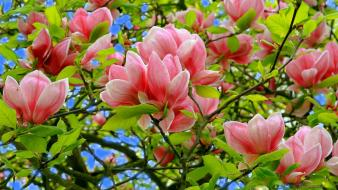 Magnolia flowers nature pink spring wallpaper
