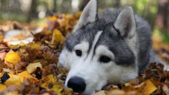 Animals autumn dogs husky leaves wallpaper