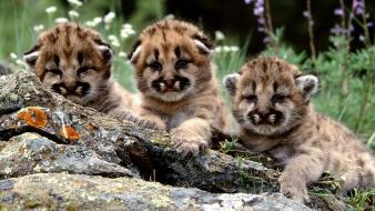 Animals baby cubs mountain lions Wallpaper