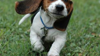 Animals beagle dogs eyes faces wallpaper