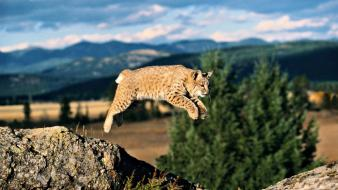 Animals bobcats jumping nature Wallpaper