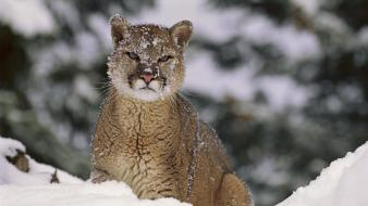 Animals mountain lions wallpaper
